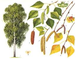 Изучение асимметрии листьев березы для оценки качества среды в поселке Мисцево