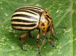 Биологические методы борьбы с колорадским жуком и озимой совкой